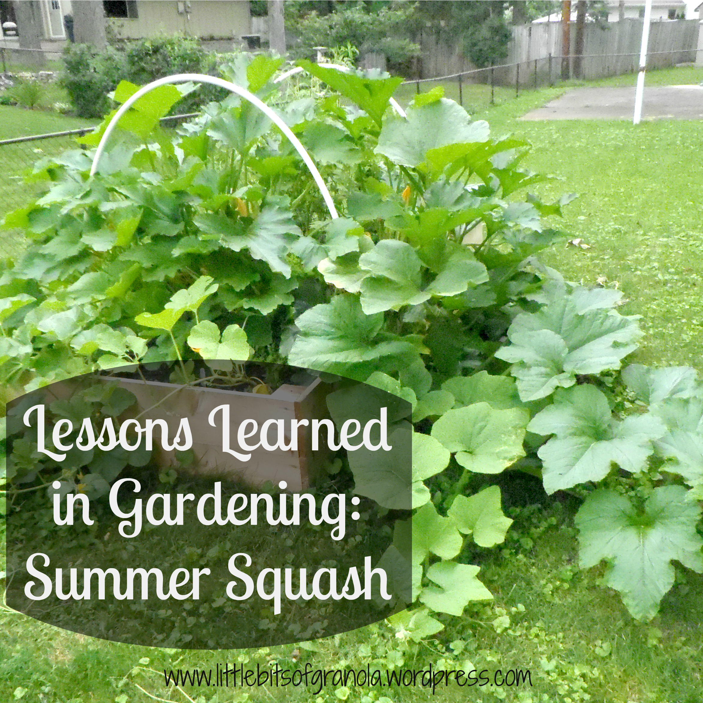 Lessons Learned In Gardening Summer Squash Little Bits Of Granola